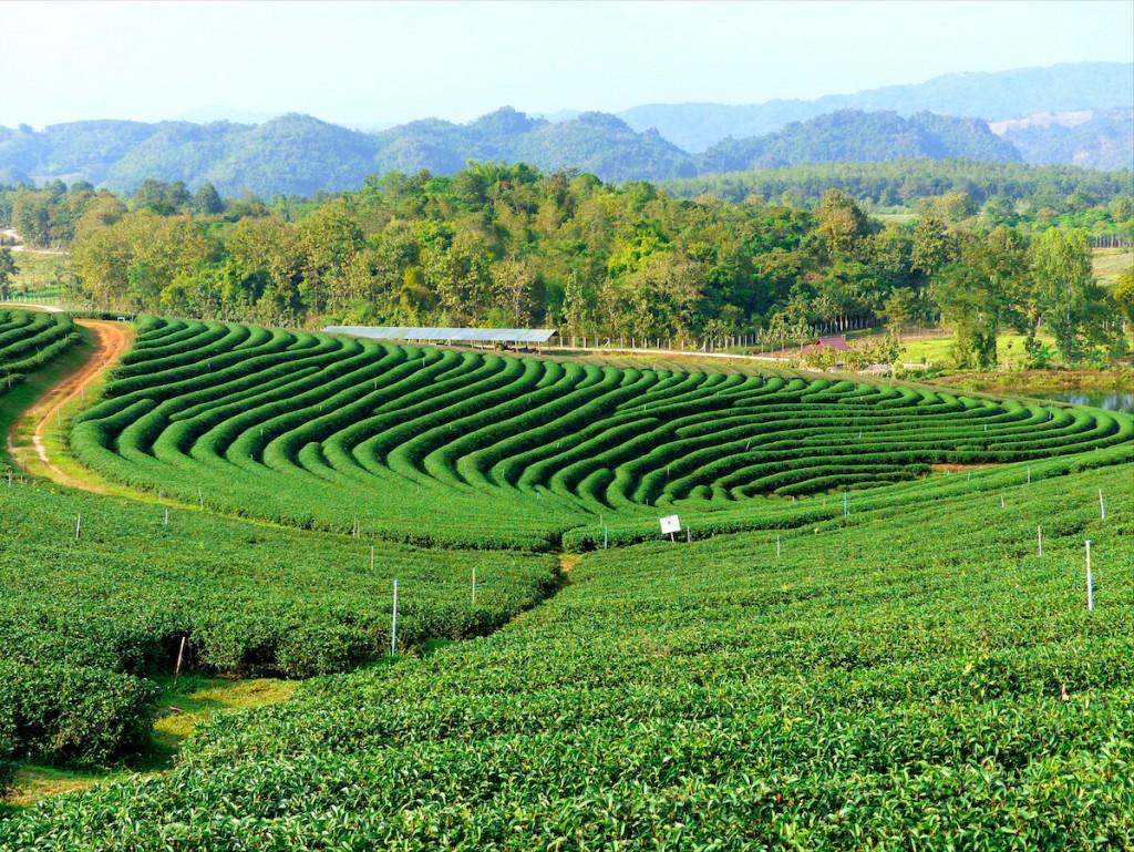 Plantación de té con la que me topé por casualidad