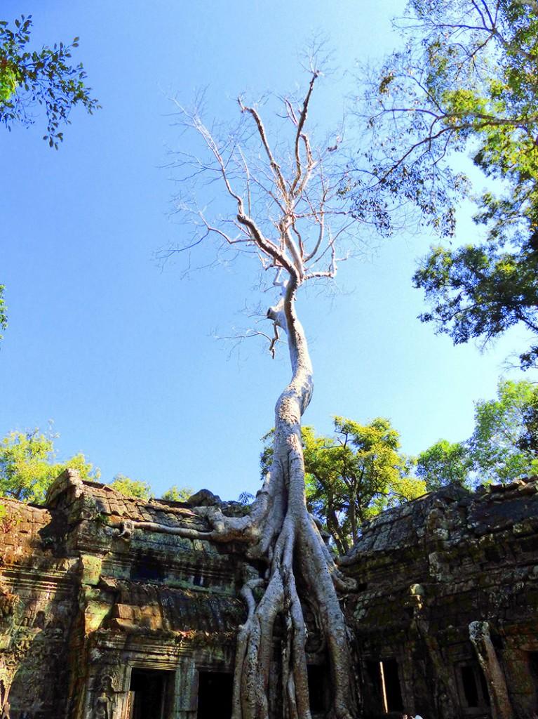 El increible Ta Prohm, con árboles creciendo encima del templo
