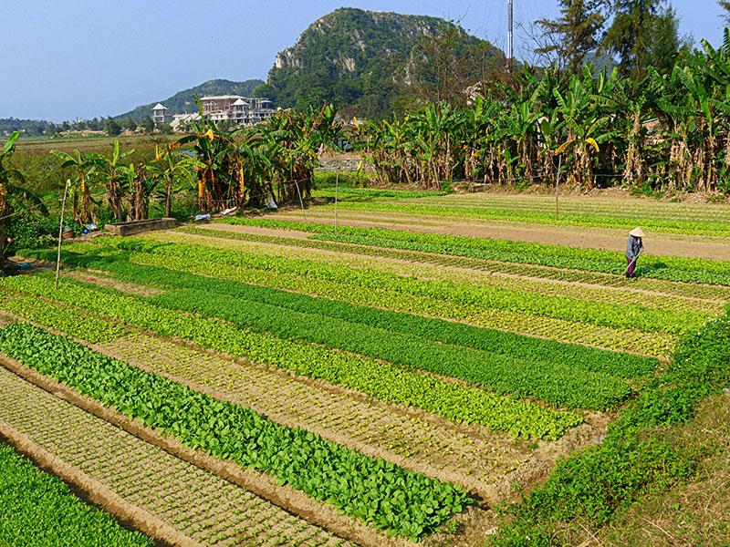 Parcelas de campos de cultivo, en las afueras de Hoi An