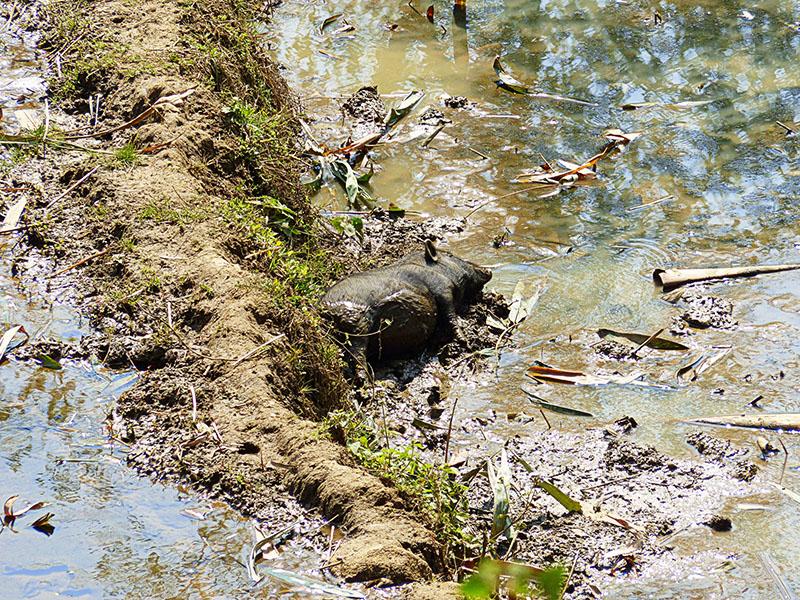 Cerdo revolcándose en el barro