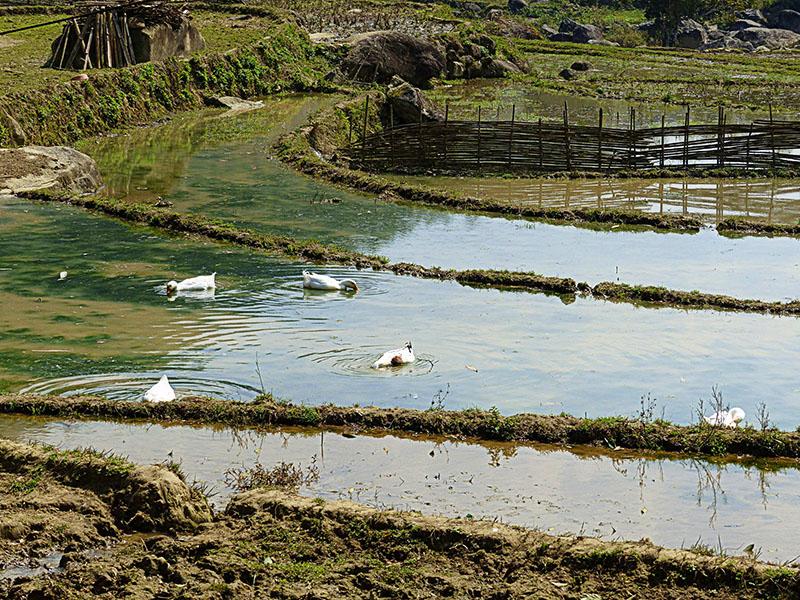 Patos en un pequeño lago de agua estancada